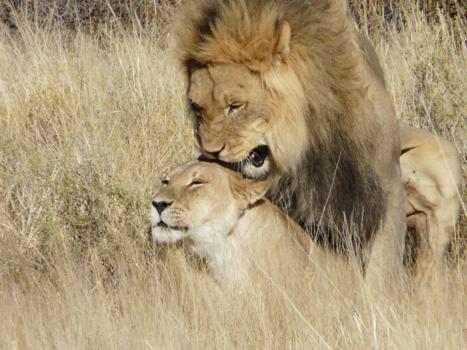 C Lion Review Noord-Kaap | Al...